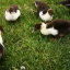 Enten futtern auf Wiese (Video)