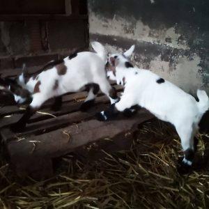 Ziegenbabys geboren